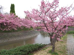 曇り空の下で見る河津桜