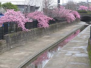水路に映る河津桜