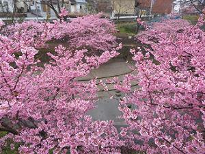 いっぱいの河津桜