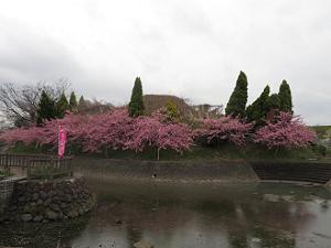 水路の対岸の河津桜