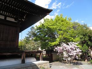 本堂脇の新緑と八重桜