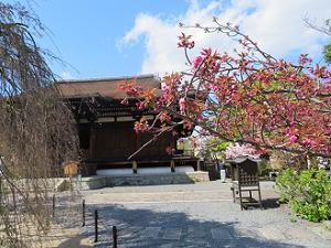咲き始めの関山桜