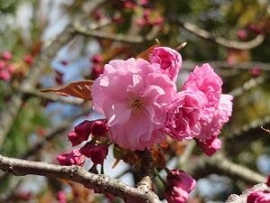 関山桜のアップ