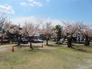 駐車場と桜