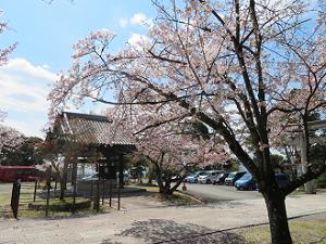 桜と手水屋