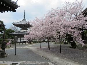 満開の桜と多宝塔