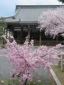 枝垂れ桜と本堂