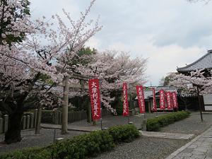摩利支尊天ののぼりと桜