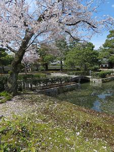 コケに散る桜