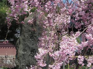 八重紅枝垂れ桜と茶碑