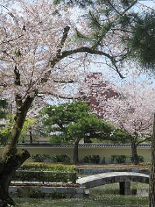 ソメイヨシノと石橋
