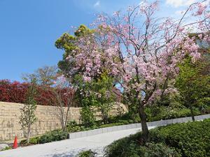 フォーシーズンズホテル京都の八重紅枝垂れ桜