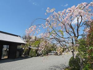 青空と八重紅枝垂れ桜