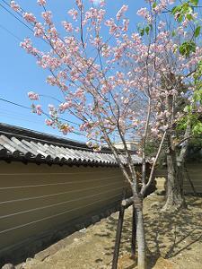 塀際の八重紅枝垂れ桜
