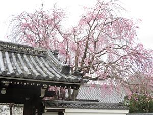 山門の屋根と八重紅枝垂れ桜