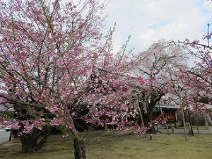 咲き始めた八重桜