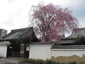 善明院の八重紅枝垂れ桜