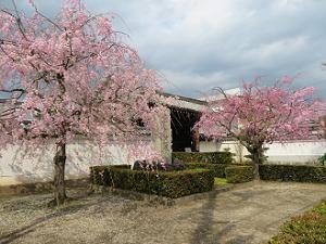 山門前の紅枝垂れ桜