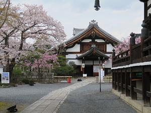 本堂脇から見る庫裡と桜
