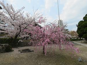 八重紅枝垂れ桜とソメイヨシノ