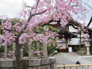八重紅枝垂れ桜と庫裡