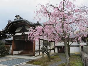八重紅枝垂れ桜と大玄関