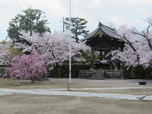 鐘楼の周囲の満開の桜