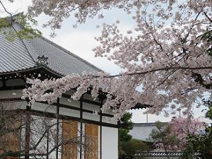 桜越しに見る本堂