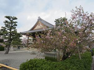 本堂と御会式桜