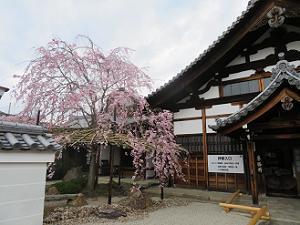 庫裡と八重紅枝垂れ桜