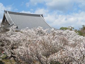 観音堂と御室桜