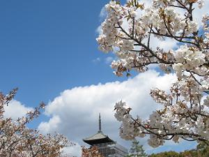 見上げる御室桜