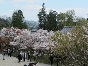 御室華舞台から眺める御室桜