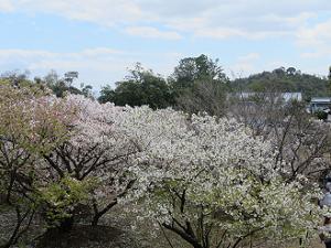 真っ白な御室桜