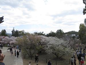 曇り空と御室桜