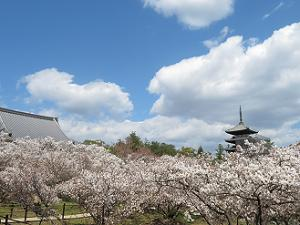 観音堂と五重塔と御室桜