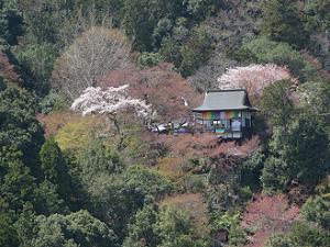 大悲閣と桜