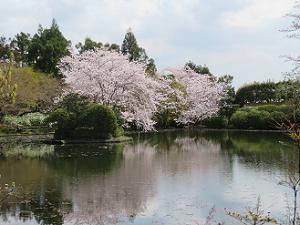 辨天島から見る鏡容池と桜