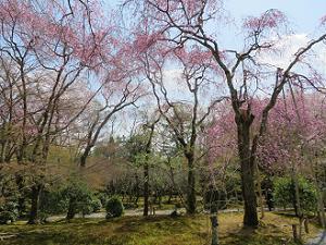 桜苑の八重紅枝垂れ桜