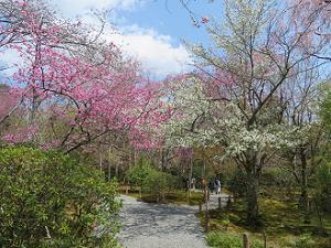 桃色と白色の桜