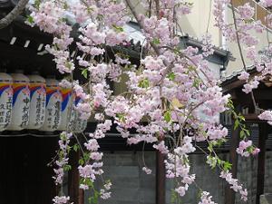 枝垂れ桜と提灯