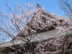たてかわ桜と本堂の屋根