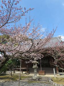 元三大師堂と桜