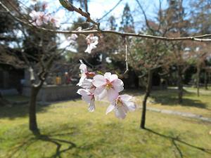 たてかわ桜のアップ