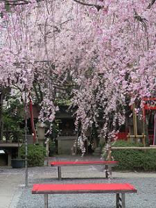2本の紅枝垂れ桜