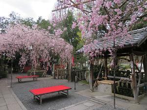 2本の枝垂れ桜とイス