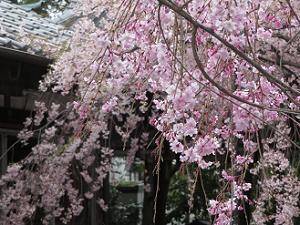 紅八重枝垂れ桜の枝先