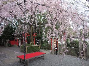 紅一重枝垂れ桜とイス
