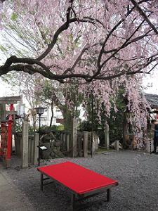 紅一重枝垂れ桜の下から見る境内