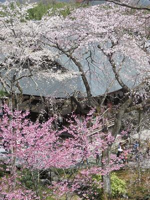 見下ろす多宝殿と桜
